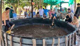 Triệt phá tụ điểm đá gà ăn thua bằng tiền trên đảo ở Nha Trang