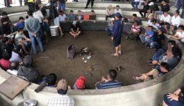 Tạm giam 13 người đá gà ăn tiền giữa trung tâm TP Tuy Hòa, Phú Yên